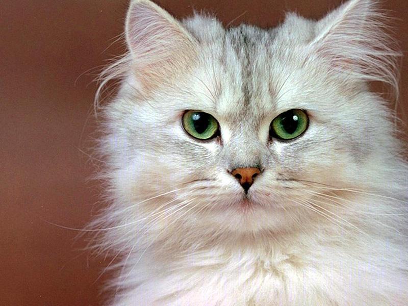 Заводить кошку в квартире или нет?